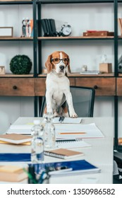 Beagle dog in glasses on chair at table with notebooks