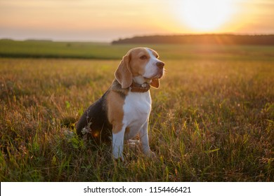 Beagle dog in the Golden rays of sunset during a walk in the summer
