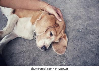 Beagle dog with hand