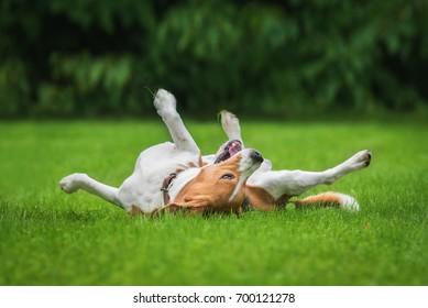 Beagle dog having fun on the lawn in summer