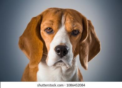 Beagle dog head close-up on blue gradient background. Studio shot.