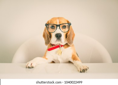 Beagle dog with intelligent eyes with glasses as a teacher looking at you with glasses and a red collar