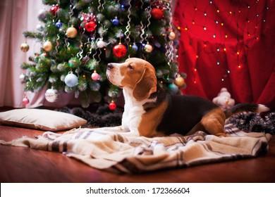 beagle dog interior christmas and new year - Christmas Beagle
