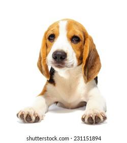 Beagle dog isolated on white backgrond