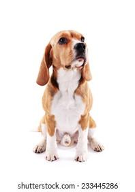 Beagle dog isolated on white