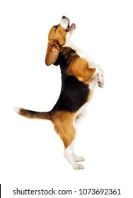 beagle dog jumping up on a white background