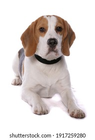 Beagle dog laying isolated on a white background