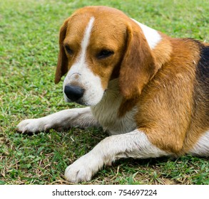Beagle dog laying on green grass in the garden