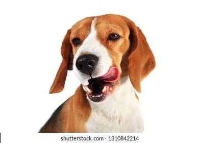 Beagle dog licks his mouth isolated on white background. Studio shot. Licking dog.