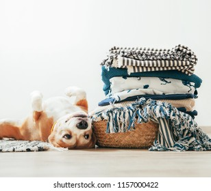 Beagle dog lies on floor near the basket with laundry