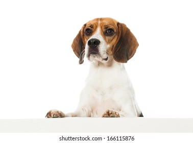 Beagle dog looking over a wall