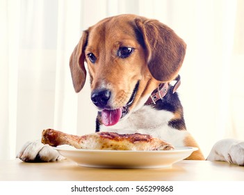 Beagle dog looking  to roasted chicken leg  on  white plate.