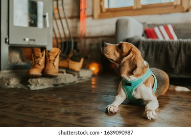 Beagle dog lying on the floor near the fireplace in mountain wooden house