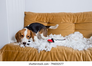 The beagle dog is making a mess