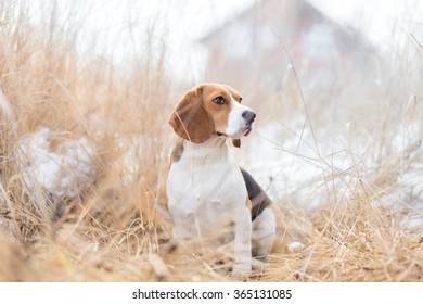 Beagle dog in nature portrait