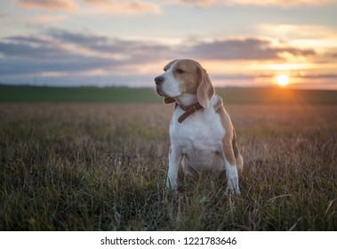 Beagle dog on the background of a beautiful autumn sunset while walking in nature
