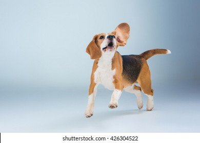 The beagle dog on gray background