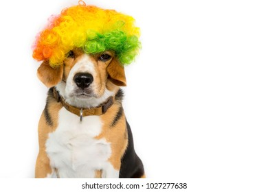 Beagle dog on isolated white background