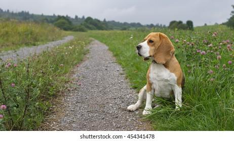 Beagle dog on the road