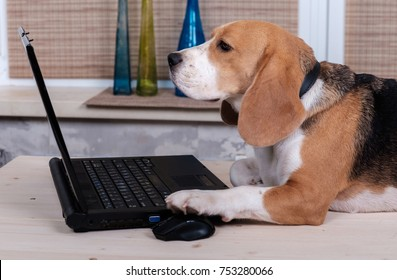 Beagle dog on the table emulates a laptop