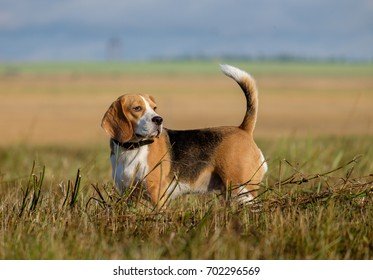 Beagle dog on a walk early in the morning on a sloping field
