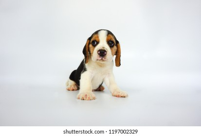 beagle dog on white background with copy space for text and advertisement