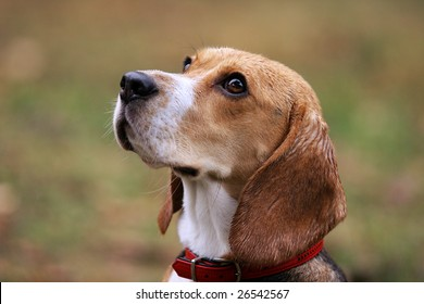 Beagle dog in outdoor setting