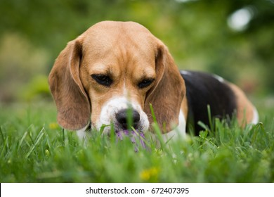 Beagle dog in the park chewing purple toy