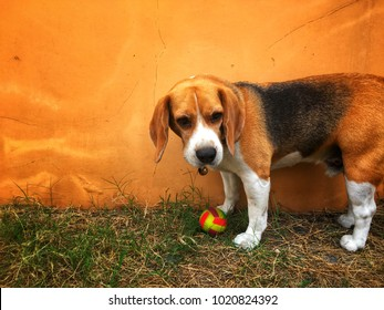 Beagle dog is playing with a ball on the grass just in front of orange wall. And h is waiting for the command from his leader.
