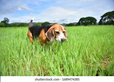 Beagle Dog playing on green grass.