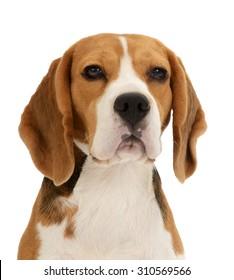 Beagle dog portrait,  isolated on white background