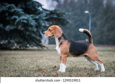 Beagle dog posing outside in beautiful autumn mist.