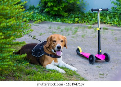 beagle dog quietly waiting for its little hostess in a non-playground zone. While children play the dog quietly guards their children's transport