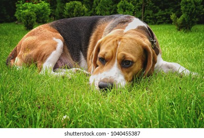 Beagle dog relax
