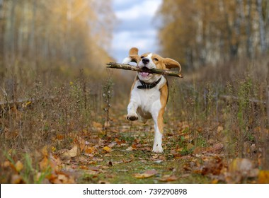 Beagle dog running around and playing with a stick in the autumn forest