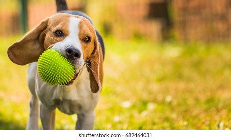 Beagle dog running and jumping in the garden playing with a ball