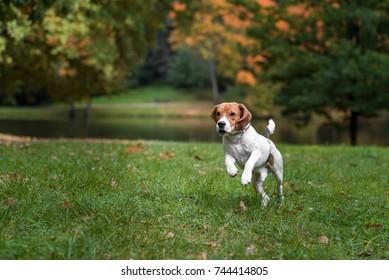 Beagle Dog Running on the grass.