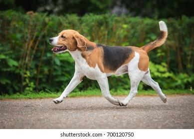 Beagle dog running trot