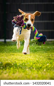 Beagle dog runs in garden towards the camera with colorful toy. Sunny day dog fetching a toy. Vertical photo