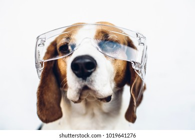 Beagle dog in safety glasses
