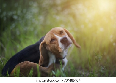 Beagle dog scratches its body in the wiild flower field.