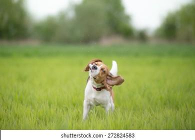 Beagle dog shaking his head