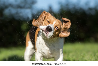 Beagle dog shaking off water