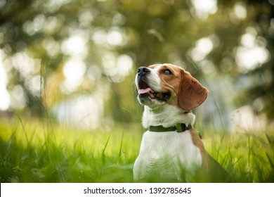 Beagle dog sit in the Grass