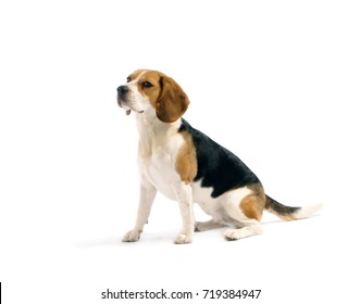 Beagle dog sits down, isolated on white background