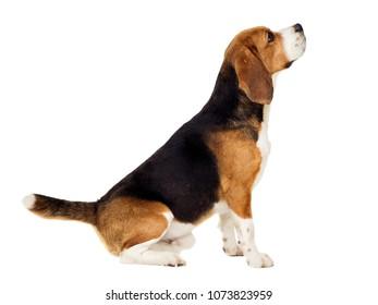beagle dog sits sideways on a white background