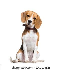 Beagle dog sitting, isolated