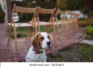 beagle dog sitting on a background of decorated chairs for the ceremony
