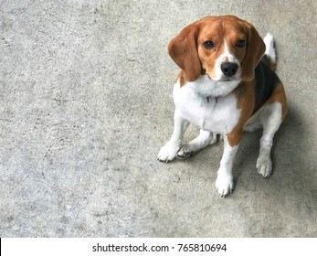 beagle dog sitting on the cement floor.