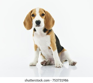 Beagle dog sitting with white background
